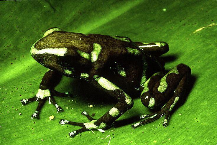 Green And Black Poison Dart Frog 11 Desktop Background ...