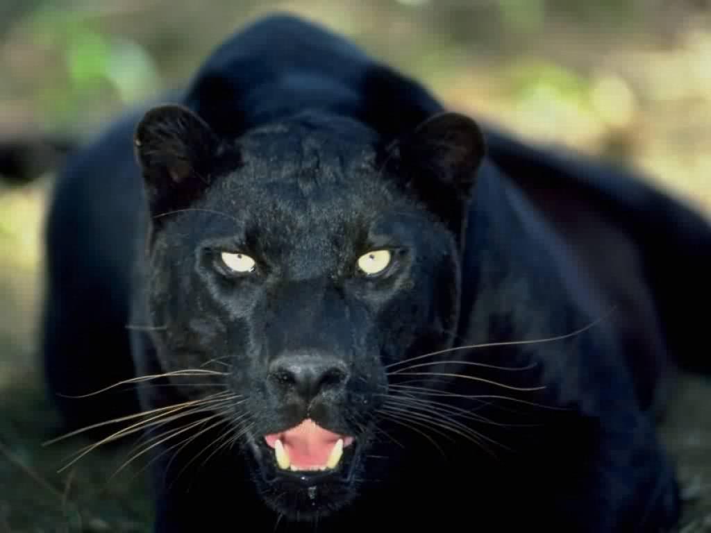 black panthers 13 hd wallpaper